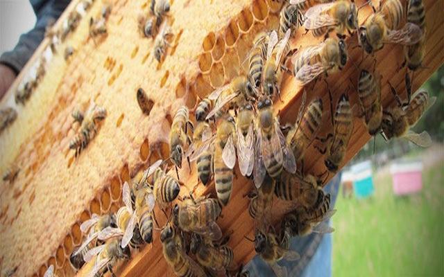 Los usos terapéuticos del veneno de abeja