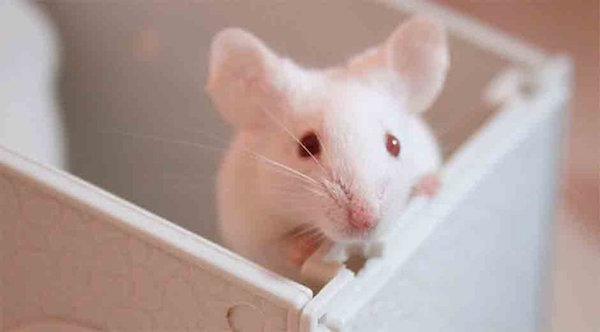 Una proteína del cordón umbilical regenera el cerebro envejecido de ratones