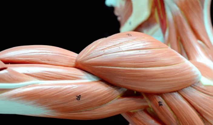 Injertos especiales de tejido muscular para ayudar a sentir y ...