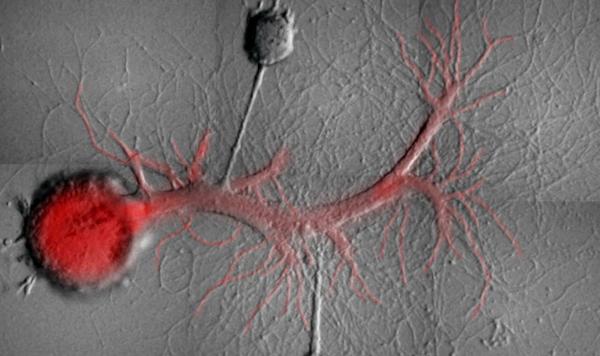 Descubren cómo se fijan los recuerdos en el cerebro