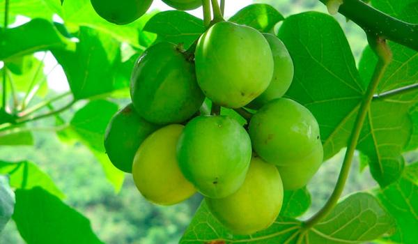 Científicos descubren planta mexicana (Jatropha) funciona como biocombustible