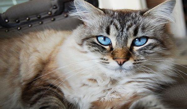 Un estudio vincula un parásito común en los gatos con enfermedades neurológicas como el alzhéimer