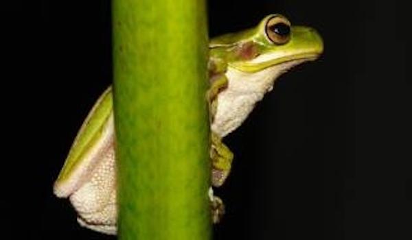 Descubren que la piel de una rana retrasa los síntomas del Alzheimer
