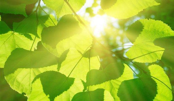 Un modelo por el que las plantas adaptan su metabolismo fotosintético a la intensidad lumínica