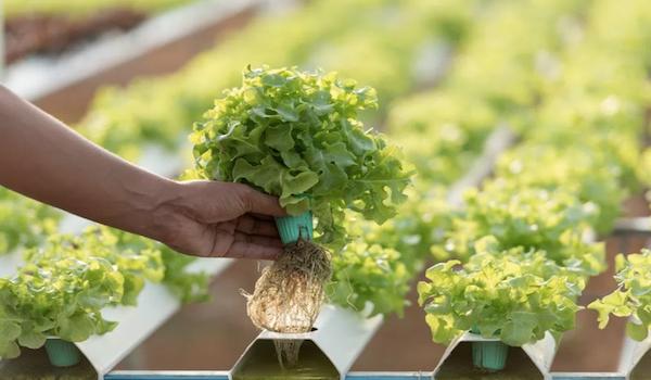 Las 5W del cultivo hidropónico: qué, cómo, cuándo, quién, dónde y por qué