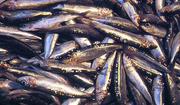Inteligencia artificial para proyectar pesquerías de pelágicos menores
